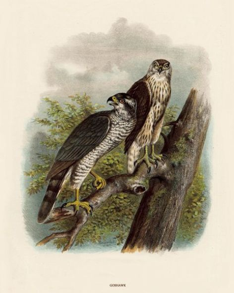 Fine Art Print of the Goshawk by O V Riesenthal (1876)